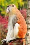 Το πορτρέτο ενός πιθήκου κάθεται, στηρίζεται και θέτει στον κλάδο του δέντρου στον κήπο Ο πίθηκος Patas είναι τύπος αρχιεπισκόπων στοκ φωτογραφία