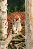 Το πορτρέτο ενός πιθήκου κάθεται, στηρίζεται και θέτει στον κλάδο του δέντρου στον κήπο Ο πίθηκος Patas είναι τύπος αρχιεπισκόπων στοκ εικόνα με δικαίωμα ελεύθερης χρήσης