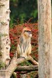 Το πορτρέτο ενός πιθήκου κάθεται, στηρίζεται και θέτει στον κλάδο του δέντρου στον κήπο Ο πίθηκος Patas είναι τύπος αρχιεπισκόπων στοκ φωτογραφία με δικαίωμα ελεύθερης χρήσης
