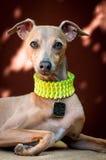Το πορτρέτο ενός σκυλιού της φυλής ιταλικό Greyhound καφετιού ομο Στοκ Εικόνες