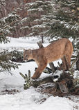Λιοντάρι βουνών Στοκ Εικόνες
