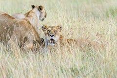 το πορτρέτο ληφθείσα serengeti Τανζανία εικόνων λιονταριών ήταν νέο Στοκ Φωτογραφίες
