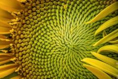Το πορτρέτο και κλείνει επάνω του λουλουδιού ηλίανθων στο θερινό κήπο Μακρο φωτογραφία της φύσης στοκ φωτογραφία