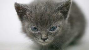 Το πορτρέτο λίγο γκρίζο γατάκι είναι φοβησμένο εκφοβισμένος απόθεμα βίντεο