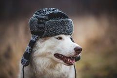 Το πορτρέτο σχεδιαγράμματος του αστείου γεροδεμένου σκυλιού είναι στη θερμή ΚΑΠ με τα χτυπήματα αυτιών Πορτρέτο κινηματογραφήσεων στοκ φωτογραφία με δικαίωμα ελεύθερης χρήσης