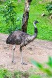 Το πορτρέτο της αυστραλιανής ΟΝΕ περπατά στοκ φωτογραφία με δικαίωμα ελεύθερης χρήσης