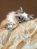 Το πορτρέτο της νέας άσπρης γάτας που βρίσκεται στο κάλυμμα και παρατηρεί από την κορυφή του κρεβατιού μέσα στο σπίτι στα καφετιά στοκ εικόνες