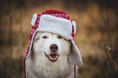 Το πορτρέτο του αστείου γεροδεμένου σκυλιού είναι στη θερμή ΚΑΠ με τα χτυπήματα αυτιών Πορτρέτο κινηματογραφήσεων σε πρώτο πλάνο  στοκ εικόνα με δικαίωμα ελεύθερης χρήσης