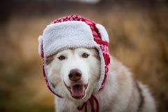 Το πορτρέτο του αστείου γεροδεμένου σκυλιού είναι στη θερμή ΚΑΠ με τα χτυπήματα αυτιών Πορτρέτο κινηματογραφήσεων σε πρώτο πλάνο  στοκ φωτογραφία με δικαίωμα ελεύθερης χρήσης