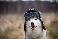 Το πορτρέτο του αστείου γεροδεμένου σκυλιού είναι στη θερμή ΚΑΠ με τα χτυπήματα αυτιών Εικόνα κινηματογραφήσεων σε πρώτο πλάνο χα στοκ εικόνες με δικαίωμα ελεύθερης χρήσης