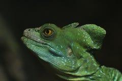 Το πορτρέτο του α ο βασιλίσκος Basiliscus plumifrons στοκ εικόνα