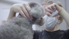 Το πορτρέτο του κατοικίδιου ζώου groomer στη μάσκα κτενίζει τη μικρή γκρίζα τρίχα σκυλιών στο σαλόνι groomers κρατώντας το λαιμό  φιλμ μικρού μήκους