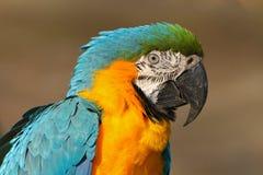 Το πορτρέτο του μπλε-και-κίτρινου macaw, ararauna Ara, επίσης γνωστό ως μπλε-και-χρυσό macaw, είναι ένας μεγάλος νότος - αμερικαν Στοκ Εικόνες