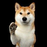 Το πορτρέτο του σκυλιού inu Shiba απομόνωσε το μαύρο υπόβαθρο στοκ εικόνες