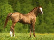 Το πορτρέτο του χρυσού φορά το άλογο το καλοκαίρι Στοκ Εικόνα