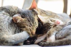 Το πορτρέτο των γατών κοιμάται από κοινού Στοκ Εικόνες