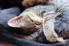Το πορτρέτο των γατών κοιμάται από κοινού Στοκ Φωτογραφία