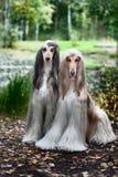 Το πορτρέτο δύο αφγανικά greyhounds, όμορφο, σκυλί παρουσιάζει εμφάνιση Στοκ εικόνες με δικαίωμα ελεύθερης χρήσης
