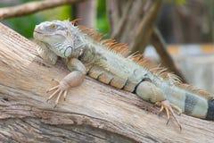 Το πορτρέτο Iguana Στοκ εικόνες με δικαίωμα ελεύθερης χρήσης