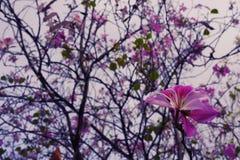 Το πορφυρό δέντρο λουλουδιών είναι πιεσμένο την μπλε διάθεση σε όλα Στοκ Εικόνα