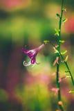 Το πορφυρό κουδούνι λουλουδιών ασυνήθιστο εξετάζει το θολωμένο υπόβαθρο Στοκ φωτογραφία με δικαίωμα ελεύθερης χρήσης