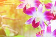 Το πορφυρό λουλούδι ορχιδεών όμορφο στο δέντρο με το μαλακό υπόβαθρο τόνου ήλιων με το διάστημα αντιγράφων προσθέτει το κείμενο Στοκ Φωτογραφία