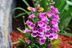Το πορφυρό λουλούδι foxglove στον κήπο Στοκ φωτογραφία με δικαίωμα ελεύθερης χρήσης