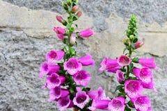 Το πορφυρό λουλούδι foxglove στον κήπο Στοκ φωτογραφίες με δικαίωμα ελεύθερης χρήσης