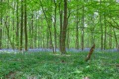 Το πορφυρό bluebell ανθίζει το δάσος Στοκ Φωτογραφίες