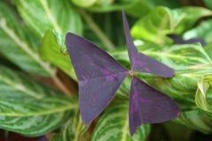 Το πορφυρό buterfly παρόμοιο βγάζει φύλλα Στοκ Εικόνα