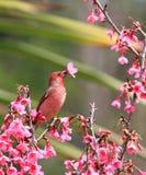 Το πουλί απορροφά το νέκταρ από τα λουλούδια στοκ εικόνα