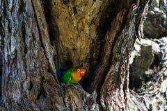 Το πουλί επιλέγει τη φωλιά στον κοίλο, Serengeti, Τανζανία Στοκ Εικόνες
