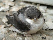 το πουλί μωρών καταπίνει Στοκ Φωτογραφία
