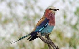το πουλί ο ιώδης κύλινδρος Στοκ Φωτογραφίες