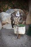 το πουλί προσεύχεται Γύπας Griffon στοκ φωτογραφίες