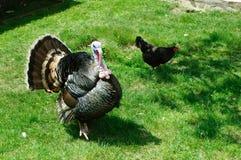 Το πουλί της Τουρκίας μια ζωηρόχρωμη ουρά που διαλύεται με στοκ εικόνα