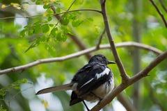 Το πουλί τραγουδιού στοκ εικόνα με δικαίωμα ελεύθερης χρήσης