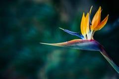 Το πουλί των λουλουδιών παραδείσου ή γερανών είναι όμορφες εξωτικές εγκαταστάσεις στοκ εικόνες
