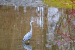 το πουλί Ardea νερού φαιάς ουσίας στο νερό Στοκ φωτογραφία με δικαίωμα ελεύθερης χρήσης