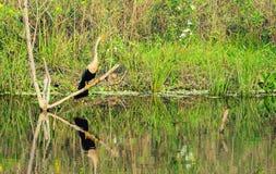Το πουλί Biguatinga προσγειώθηκε σε έναν κλάδο ενός πλημμυρισμένου δέντρου από το νερό επάνω Στοκ φωτογραφίες με δικαίωμα ελεύθερης χρήσης
