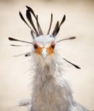Το πουλί γραμματέων κλείνει Headshot στοκ εικόνες