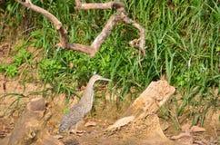 Το πουλί γυμνό το mexicanum Tigrisoma ερωδιών τιγρών) Στοκ εικόνα με δικαίωμα ελεύθερης χρήσης