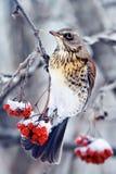 το πουλί είναι μια συνεδρίαση κοτσύφων σε έναν κλάδο της juicy κόκκινης τέφρας που καλύπτεται με το χιόνι στο πάρκο στο χειμώνα Στοκ εικόνα με δικαίωμα ελεύθερης χρήσης