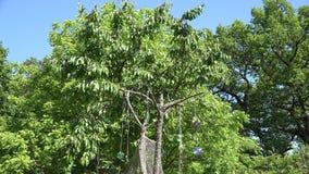 Το πουλί εκφοβίζει και προστατεύει τα μούρα με τους δίσκους Cd στο δέντρο κερασιών 4K φιλμ μικρού μήκους