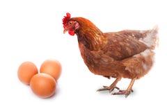 Το πουλί ζωντανού κοτόπουλου redhead εξετάζει τρία αυγά που απομονώνονται στο λευκό στοκ φωτογραφία