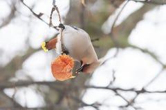 Το πουλί η συνεδρίαση Waxwing σε έναν κλάδο και τρώει τη Apple Στοκ φωτογραφία με δικαίωμα ελεύθερης χρήσης