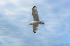 Το πουλί θάλασσας που πετά ο κυματοθραύστης όρμων Στοκ Εικόνες