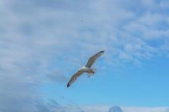 Το πουλί θάλασσας που πετά ο κυματοθραύστης όρμων Στοκ εικόνες με δικαίωμα ελεύθερης χρήσης
