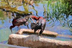 Το πουλί θρεσκιορνιθών καθαρίζει τα φτερά του Στοκ Φωτογραφία