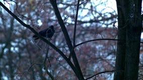 Το πουλί κάθεται σε ένα γυμνό δέντρο κλάδων, χειμώνας, κρύος καιρός φιλμ μικρού μήκους